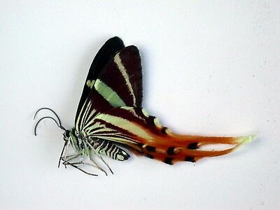One Real Butterfly Erateina Staudingeri Ecuador Unmounted Wings Closed