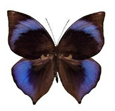 One Real Butterfly Blue Zeuxidia Doubledayi Unmounted Wings Closed