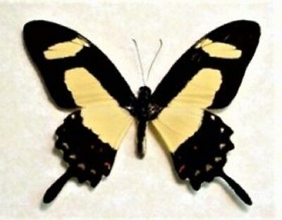 One Real Butterfly Yellow Swallowtail Papilio Torquatus Unmounted Wings Closed
