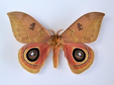 One Real Saturn Moth Automeris Tridens Costa Rica Unmounted Wings Closed