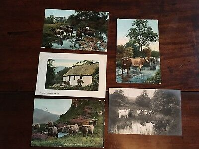 Five 1908 Postcards of Cows and Highland Cattle..