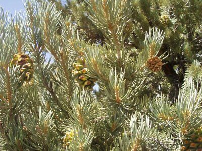 how to grow pinyon pine from seed