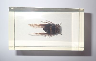 Grass Cicada in 74x43x25 mm Amber Clear Block Education Insect Specimen