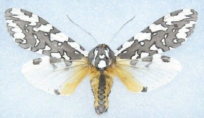One Real Moth Arachnis Zuni Wings Closed Unmounted Arizona