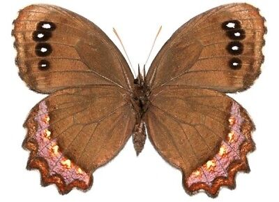 One Real Butterfly Red Bordered Satyr Gyrocheilus Patrobas Wings Closed Az