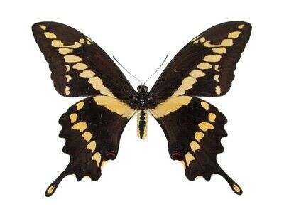 One Real Butterfly Giant Swallowtail Papilio Cresphontes Rumiko R Wings Closed