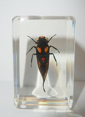 Red Cicada Huechys sanguine in clear paperweight Education Insect Specimen