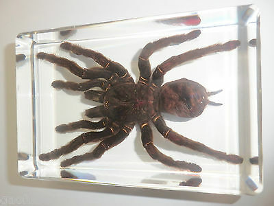 Giant Tarantula Spider Golden Earth Tiger Real Insect Specimen Education Aid