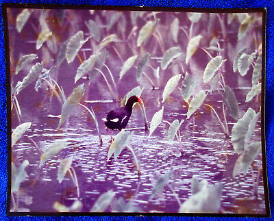 Lot 6 Hawaii BIRDS real photos vint c 1980 Nene Tern Booby others color b&w