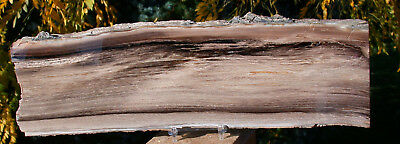 "SiS: BEAUTIFUL 13"" Rip Cut Petrified Wood Plank - McDermitt, Oregon"