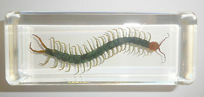 Large Red Headed Centipede Scolopendra subspinipes Education Insect Specimen