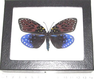 Real Framed Day Flying Moth Blue Red Flames Amesia Galaxy Moth