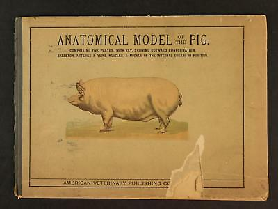 circa1900s ANATOMICAL MODEL OF THE PIG~AMERICAN VETERINARY COMPANY~GREAT GRAPICS