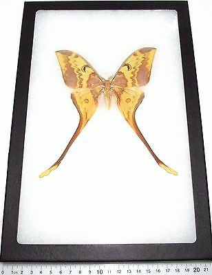 Real Framed Saturn Moth Actias Maenas Male Saturniidae M2