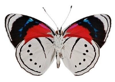 One Real Butterfly Red White Blue Perisama Euriclea Verso Unmounted Wings Closed