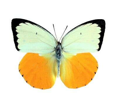 One Real Butterfly Orange White Catopsilia Scylla Unmounted Wings Closed