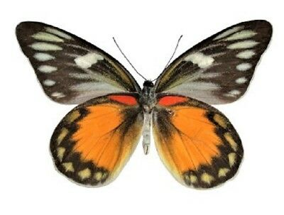 One Real Butterfly Orange Delias Zebuda Verso Unmounted Wings Closed Indonesia