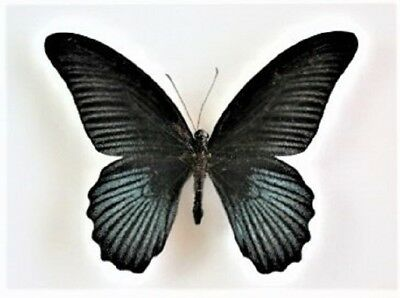 One Real Butterfly Black Blue Papilio Memnon Unmounted Wings Closed