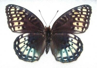 One Real Butterfly Speyeria Nokomis Nitocris Female Unmounted Wings Closed