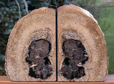 SiS:  FANCIFUL Blue Forest Petrified Wood Bookends - Natural Fossil Art!