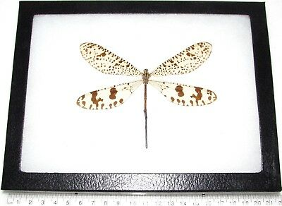 Real Framed Insect Antlion Neuroptera Madagascar