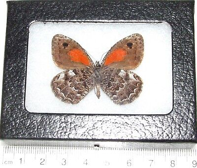 Real Framed Butterfly Red Orange Satyridae Verso Chile