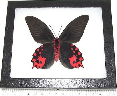 Real Framed Butterfly Pink Red Atrophaneura Semperi Male