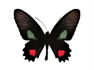 One Real Butterfly Pink Red Green Parides Anchises Peru Unmounted Wings Closed