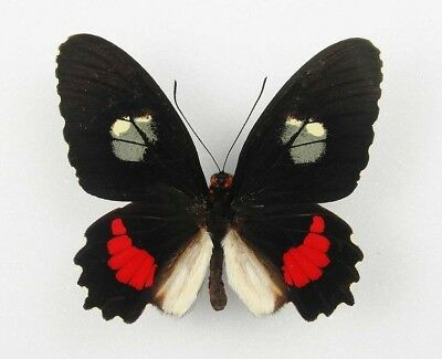 One Real Butterfly Red Parides Iphidamas Male El Salvador Rare Wings Closed