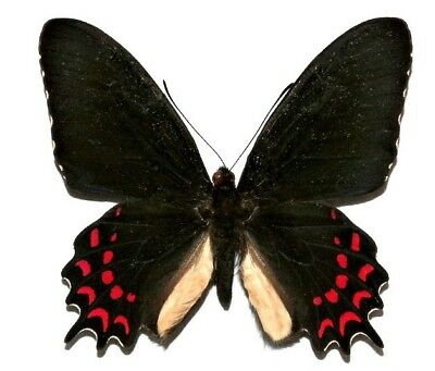 One Real Butterfly Red Parides Photinus El Salvador Unmounted Wings Closed