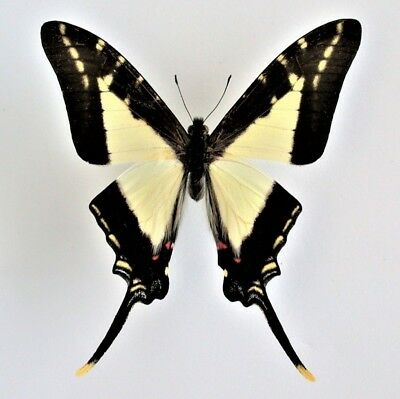 One Real Butterfly Eurytides Lacandones Swallowtail Peru Unmounted Wings Closed