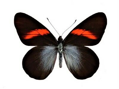 One Real Butterfly Red Pereute Callinira Unmounted Wings Closed