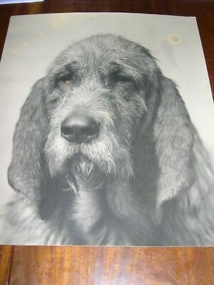 Orig Large Antique Photograph Of A Famous Otterhound Dog 1934