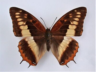 One Real Butterfly Charaxes Cynthia Female Africa Unmounted Wings Closed