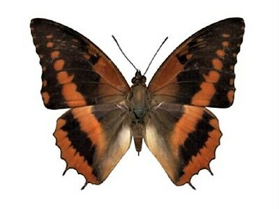 One Real Butterfly Red Orange Charaxes Cynthia Africa Unmounted Wings Closed
