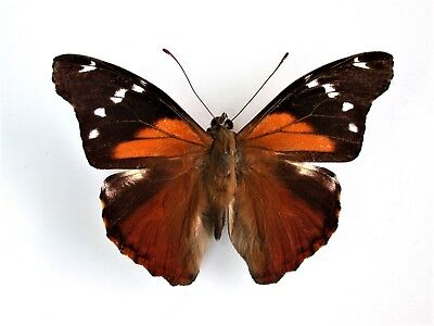 One Real Butterfly Red Orange Pycina Zamba Peru Unmounted Wings Closed
