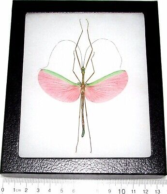 Real Framed Pink Walking Stick Bug Marmessoidea Rosea Male