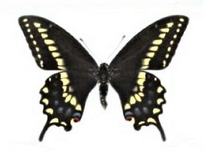 One Real Butterfly Papilio Machaon Bairdii Male Unmounted Wings Closed