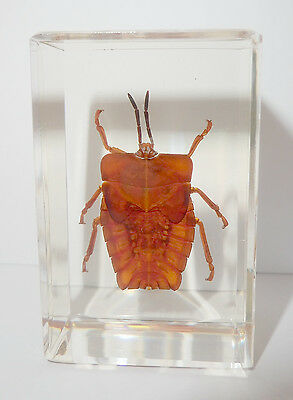 GHOST BUG Tessaratoma papillosa in Clear Block Education Insect Specimen