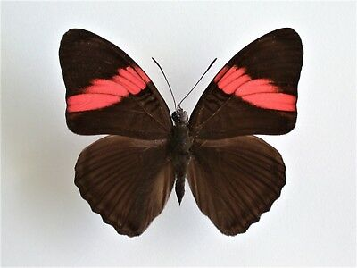 One Real Butterfly Pink Red Adelpha Lara Peru Unmounted Wings Closed