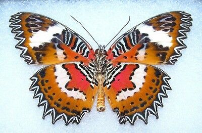 Lot Of 10 - Real Butterfly Red Orange Cethosia Hypsea Unmounted Wings Closed