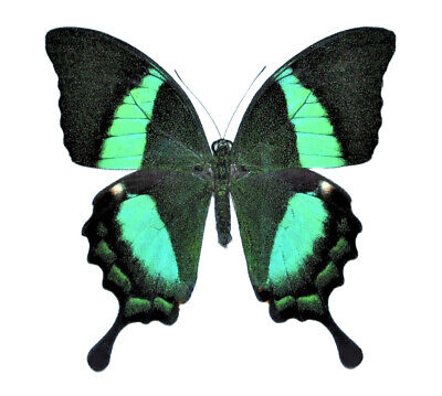 Lot Of 10 - Real Butterfly Green Papilio Palinurus Swallowtail Wings Closed