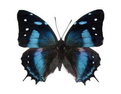 Lot Of 10 - Real Butterfly Blue Peruvian Baeotus Papered Unmounted Wings Closed