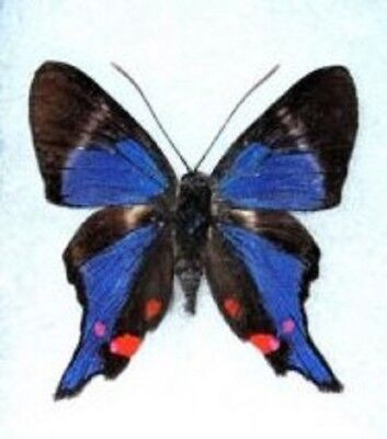 Lot Of 10 - Real Blue Butterfly Rhetus Periander Unmounted Wings Closed