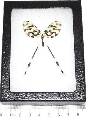 Real Framed Insect Spoonfly Nemoptera Sinuata Macedonia
