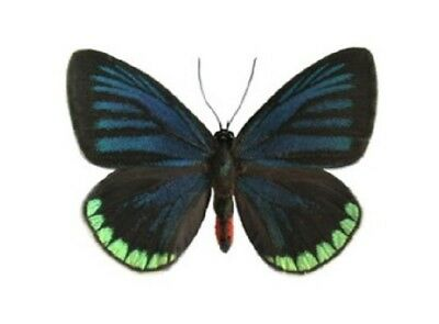 One Real Butterfly Blue Green Eumaeus Minyas El Salvador Unmounted Wings Closed