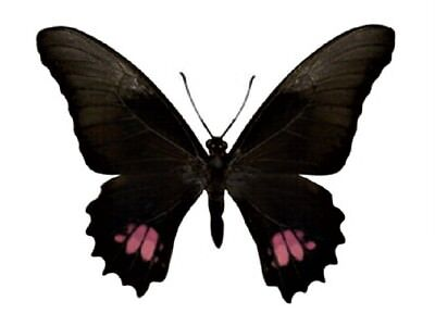 One Real Butterfly Pink Purple Papilio Anchisiades El Salvador Wings Closed