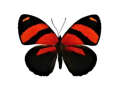 One Real Butterfly Red Callicore Cynosura Unmounted Wings Closed