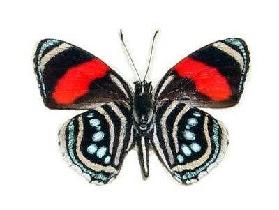 One Real Butterfly Red Blue Callicore Hesperis Verso Unmounted Wings Closed