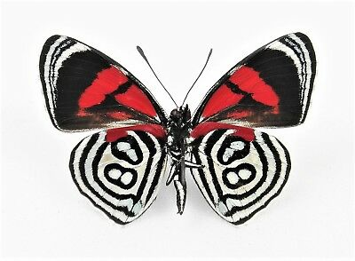 One Real Butterfly Red Callicore Kolyma Verso Unmounted Wings Closed